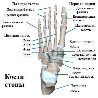 Анатомия всей стопы человека