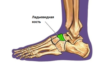 Ладьевидная кость стопы человека