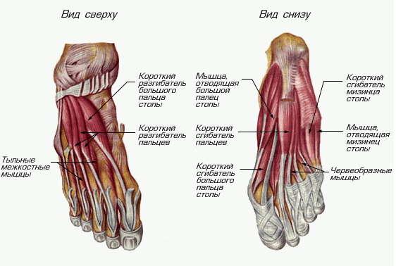 Строение мышц стопы