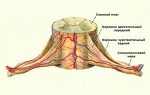 Нервное строение