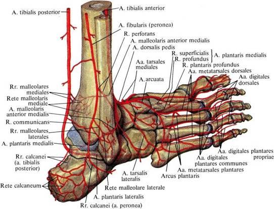 Нервные окончания и сосуды