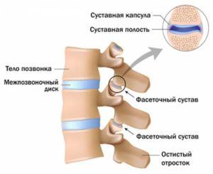 Строение фасеточные суставы