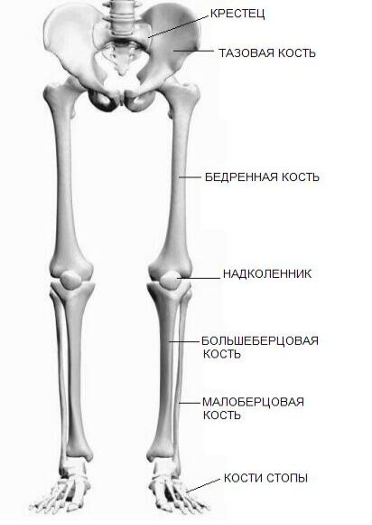 Кости нижних конечностей