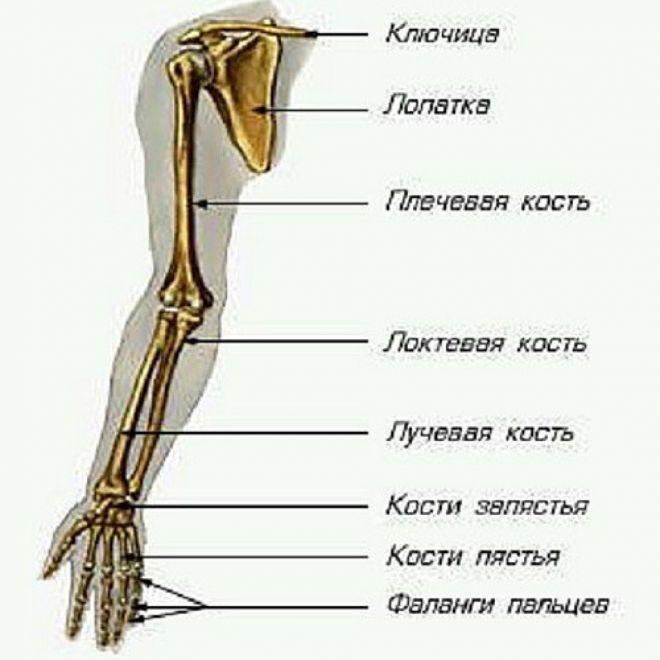 Строение костей руки