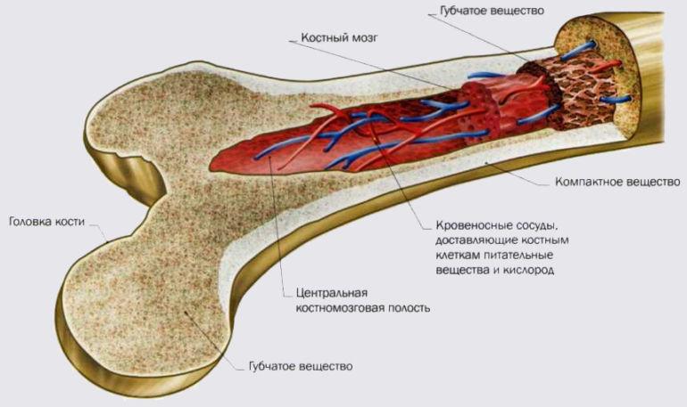Костный мозг кроветворный орган