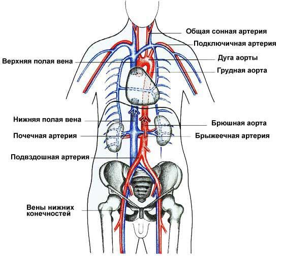 Вены и артерии