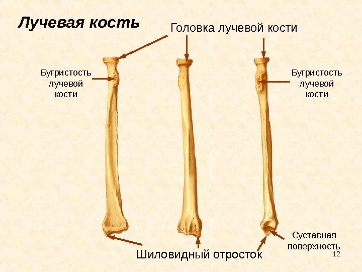 Строение лучевой кости