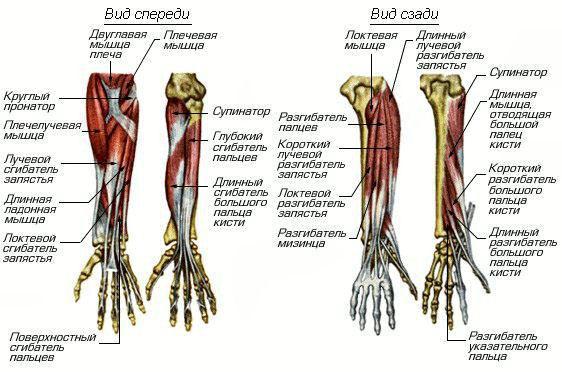 Строение мышц предплечья