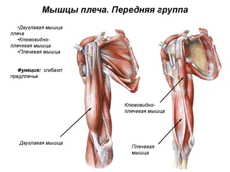 Строение мышц плечевого пояса