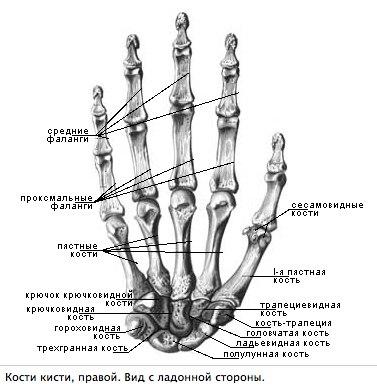 Сесамовидные кости руки