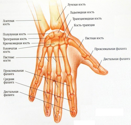 Кости пальцев строение