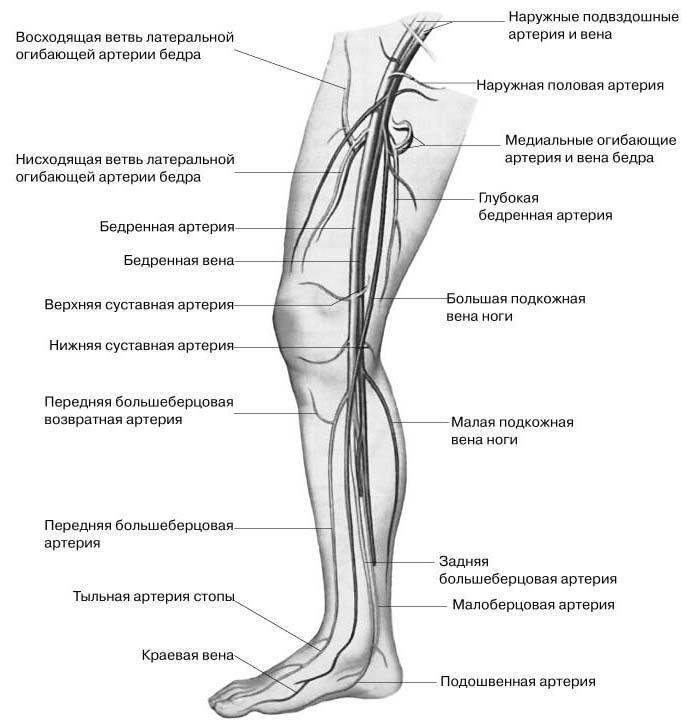 Строение вен ног