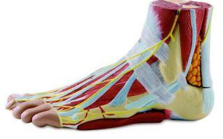 Функции, особенности строения и анатомия костей стопы человека
