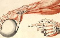 Анатомия кисти руки человека в картинках: строение костей, суставов и мыщц рук