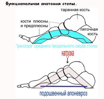 Функции стопы человека