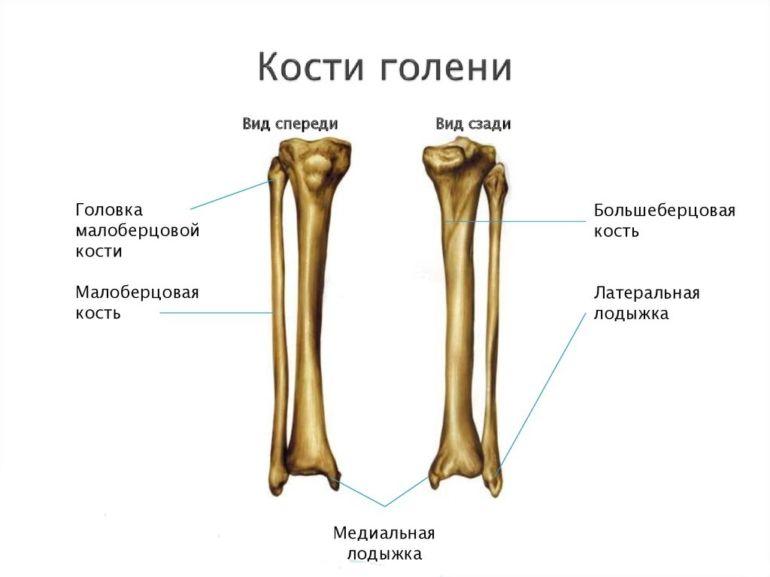 Стоение костей голени человека