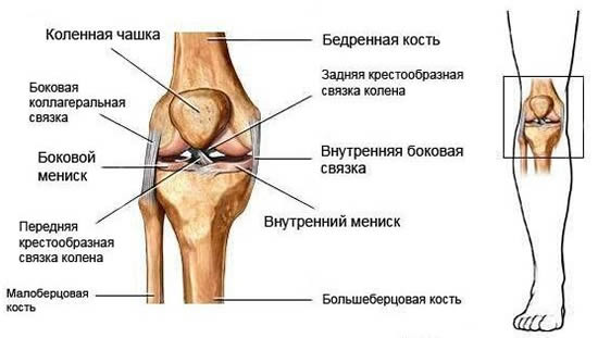 Схема строения коленного сустава