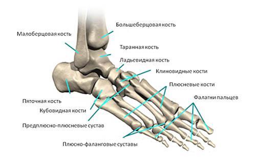 Предплюсне-плюсневые суставы стопы строение