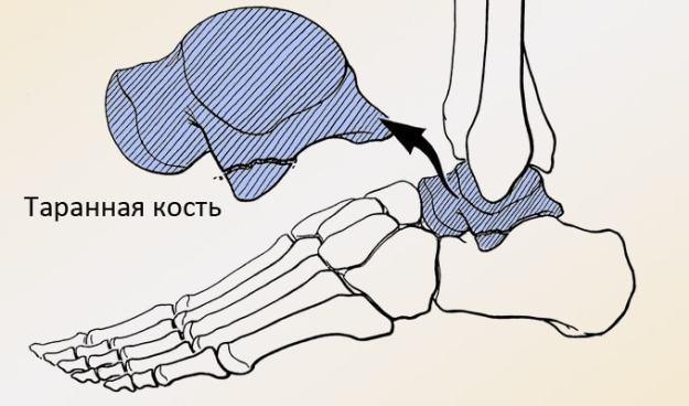 Таранная кость стопы человека