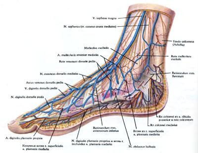 Кровеносная система стопы