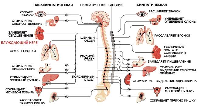 Строение и расположение блуждающего нерва