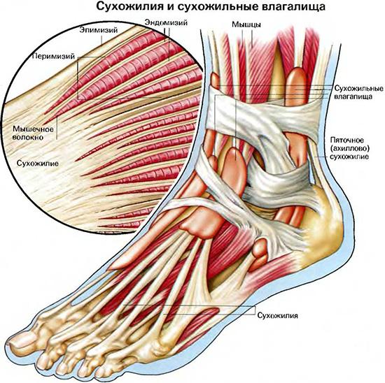 Мышцы голеностопного сустава