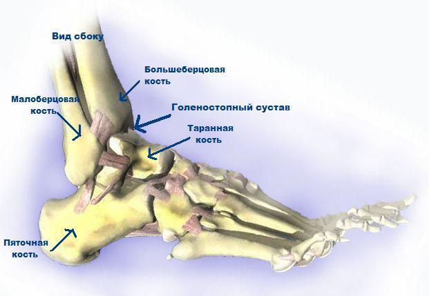 Строение костей голеностопного сустава