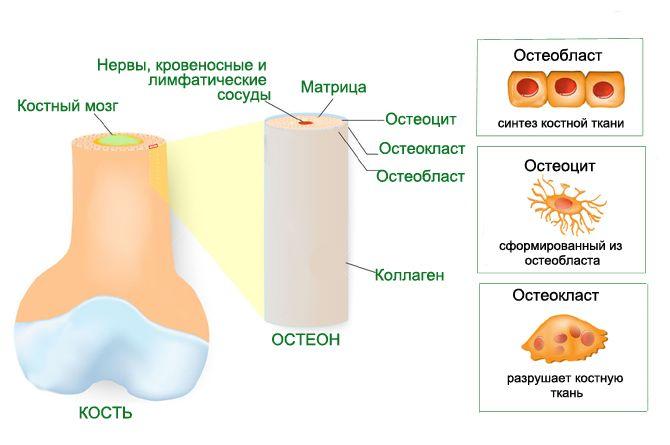 Строение костной ткани