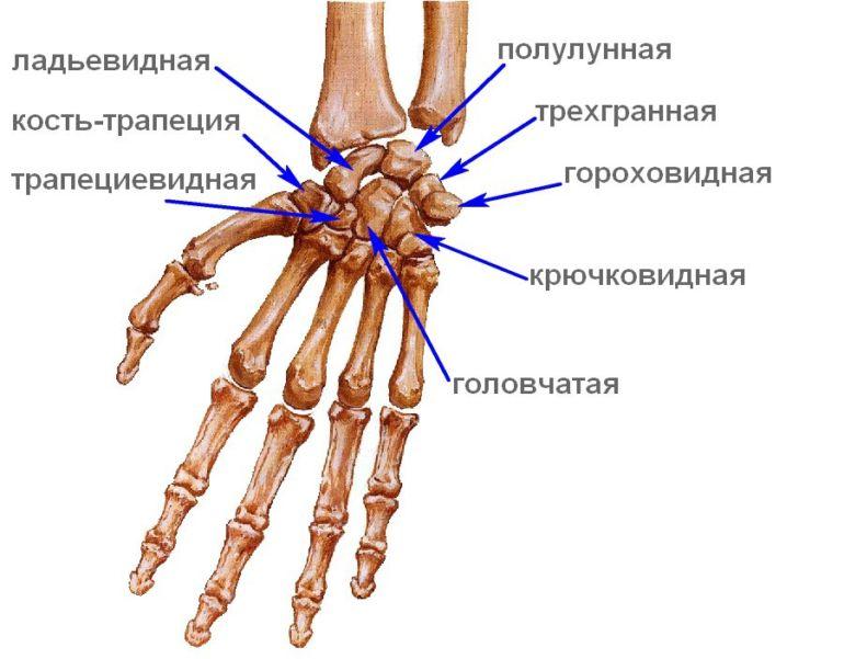 Изображение - Суставы первого пальца кисти kosti-zapiastia