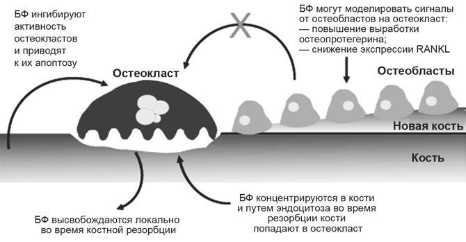 Механизм работы бисфосфонатов