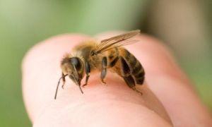 Ревматизм лечат укусами пчел: