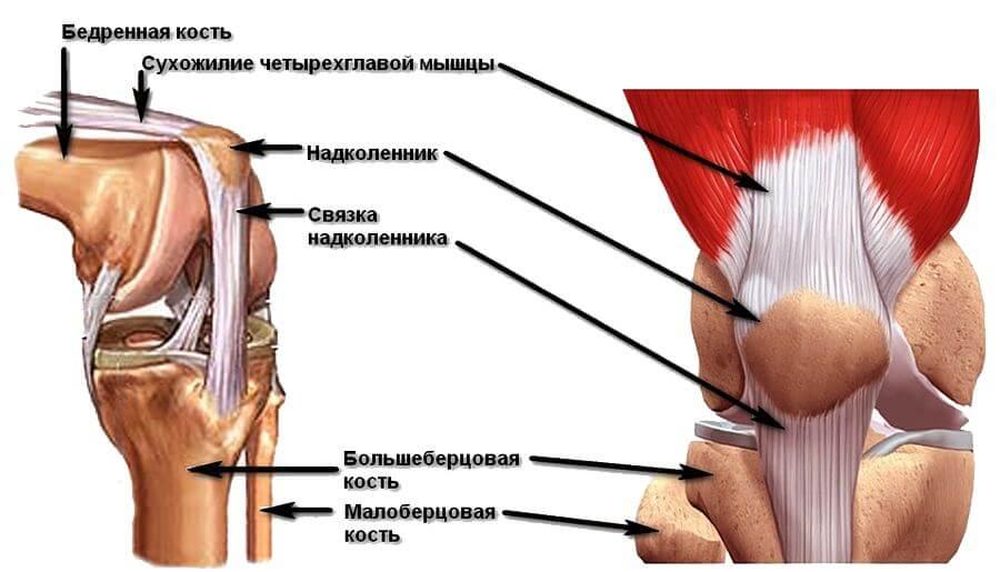 Строение коленных мышц