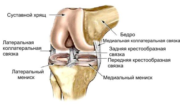 Строение мениска коленного сустава