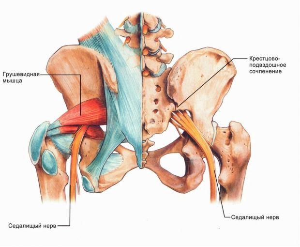 Анатомическое расположение седалищного нерва